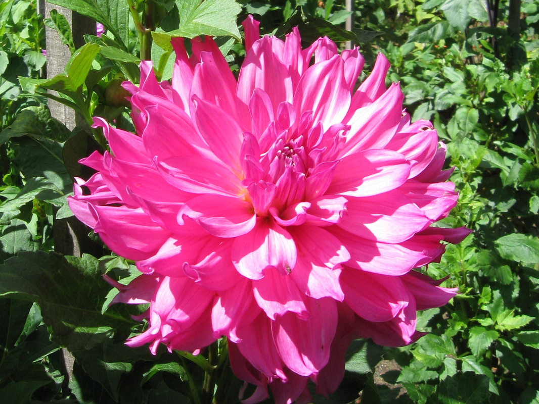 Cut Flower Varieties By Design Dahlias